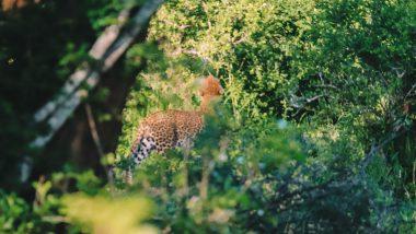Luipaard Kruger