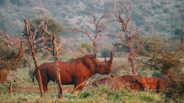 Neushoorn Krugerpark
