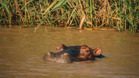 Hippo & Crocodile Boat Safari