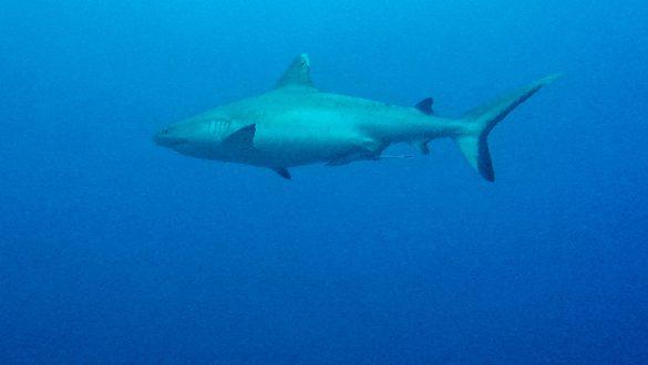Maafushi haai