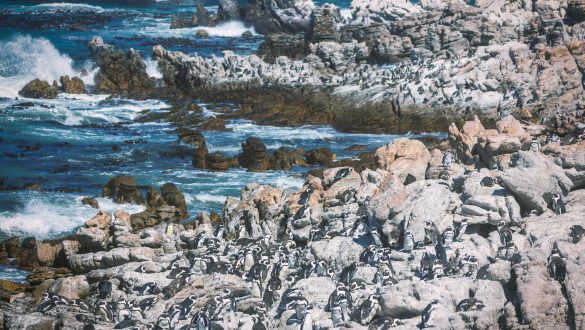Bettysbaai Pinguins