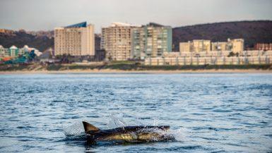 White Shark Mosselbaai