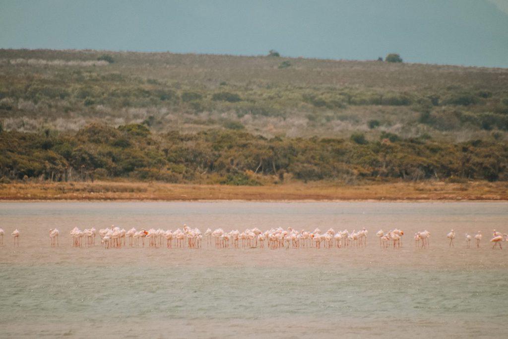 Flamingo's spotten bij Kabeljous