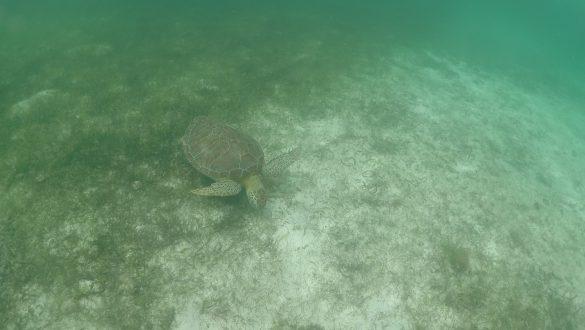 Schildpadden spotten bij Akumal Beach