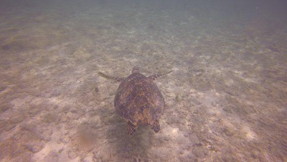 Turtles Akumal Beach